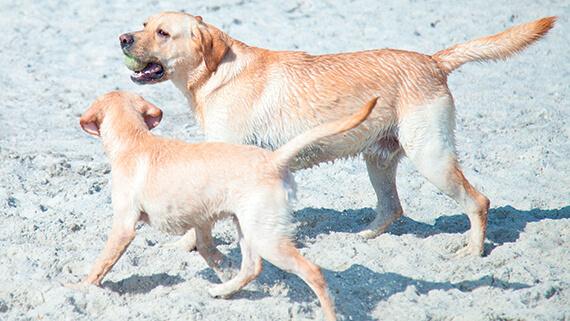 Koira Maitohappobakteeri